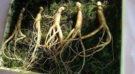 Żeń-szeń Coreano niesamowity wpływ na układ odpornościowy